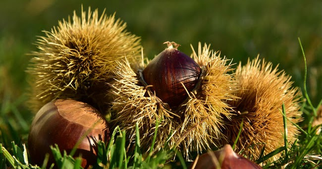 Châtaignes : propriétés, calories et valeurs nutritionnelles des fruits d'automne
