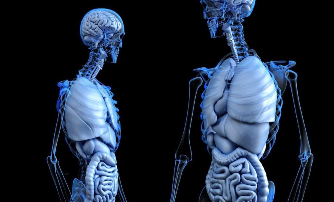 Corps humain et le foie